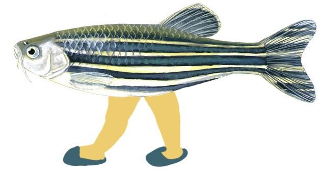 Científicos españoles 'crean' un pez con patas