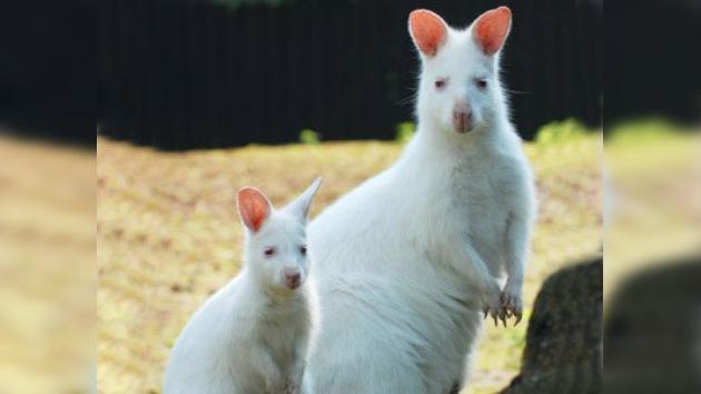 El walabí albino, nuevo 'héroe nacional' de Chipre