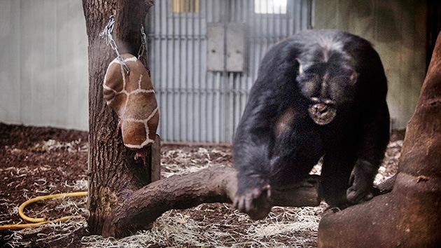 El sacrificio de dos jirafas abre el debate sobre la eutanasia animal en los zoos de Europa