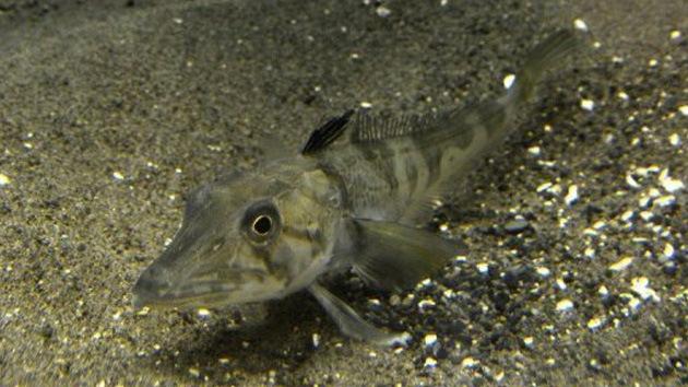 Tokio presenta pez con sangre transparente único en el mundo