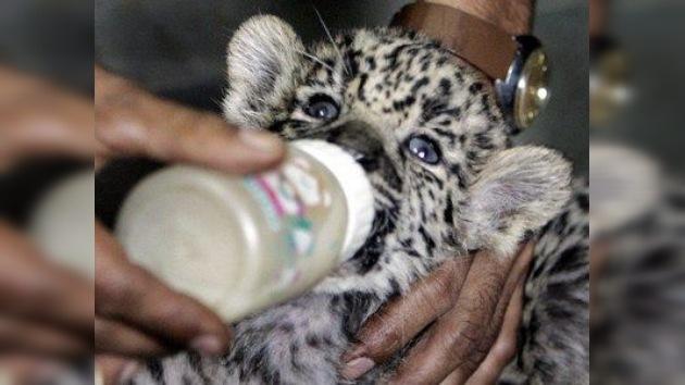 Dos 'huérfanas' de jaguar, acogidas en casa de la directora de un zoo