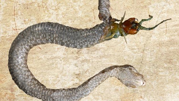 Cuidado con lo que come: un ciempiés devoró a la víbora que lo había ingerido