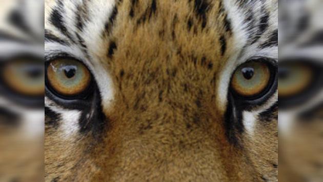 Vladivostok será la sede de la Cumbre del Tigre en septiembre de 2010