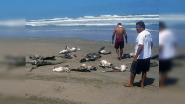 Mil pelícanos aparecen muertos en playas de Perú