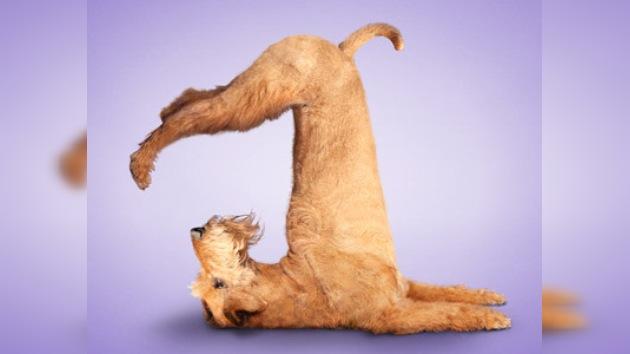 Perritos y gatitos haciendo yoga