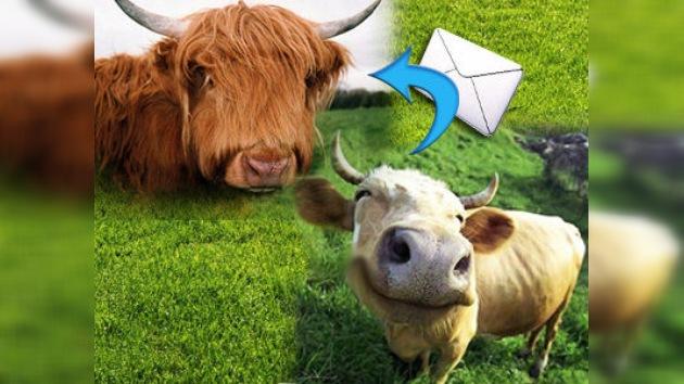 Vacas 2.0: 'Avisan' que están en celo mediante SMS