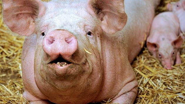 Estudio: El maíz transgénico de Monsanto daña el estómago y el útero de los cerdos