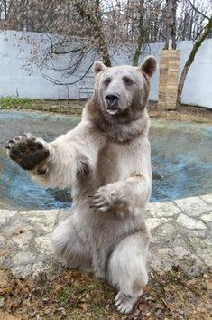 Conozcan al oso más famoso de Rusia