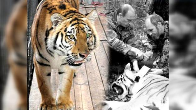 En Rusia un tigre fue sometido a operación quirúrgica