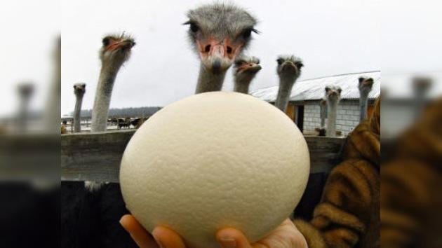 ¿Qué dibujaría en un huevo de emú?