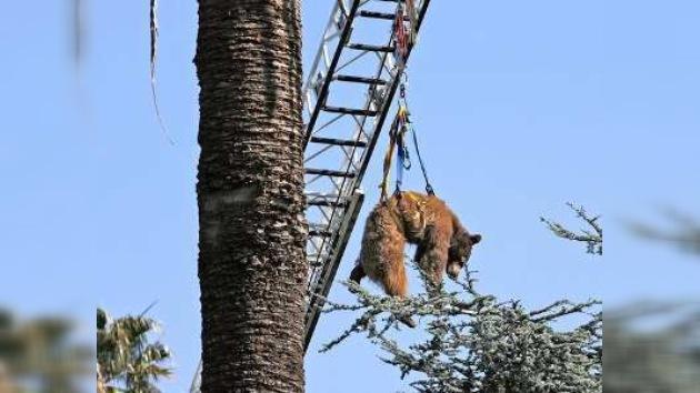 Rescatan a oso negro de un árbol