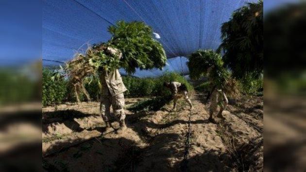 El Ejército ha quemado la plantación más grande de marihuana de la historia de México