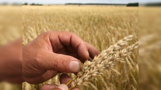 Este año no habrá cosecha récord de cereales en Rusia