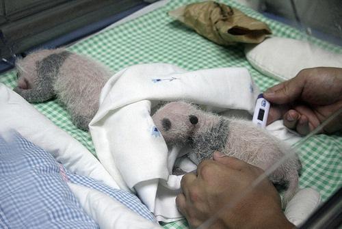 Dos pandas recién nacidos hacen su primera aparición pública en Madrid