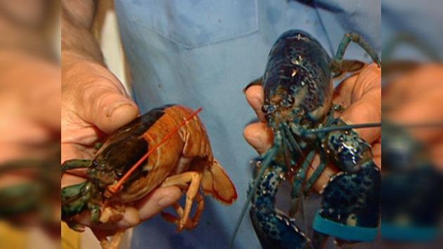Dos langostas azules ponen la nota de color a la visita de Guillermo y Catalina a Canadá