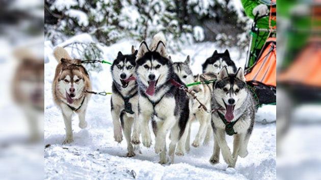 Trineos con perros, nueva actividad navideña en Moscú