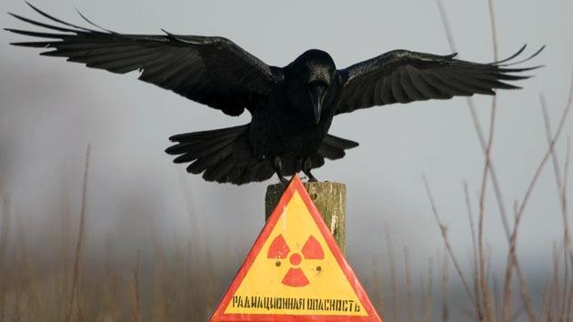 ¿Cómo la radiación benefició a los pájaros de Chernóbil?