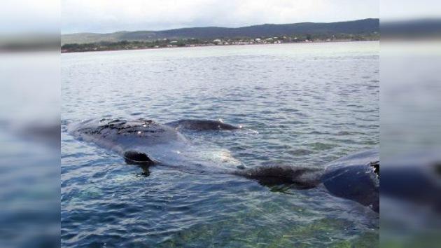 Una ballena fue sometida a eutanasia en Australia