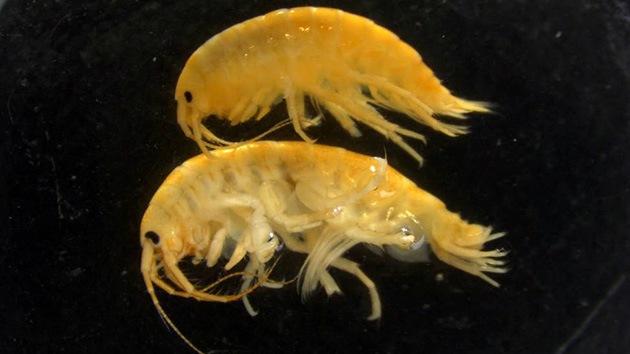 La invasión de los 'camarones demonio' amenaza la biodiversidad del Reino Unido