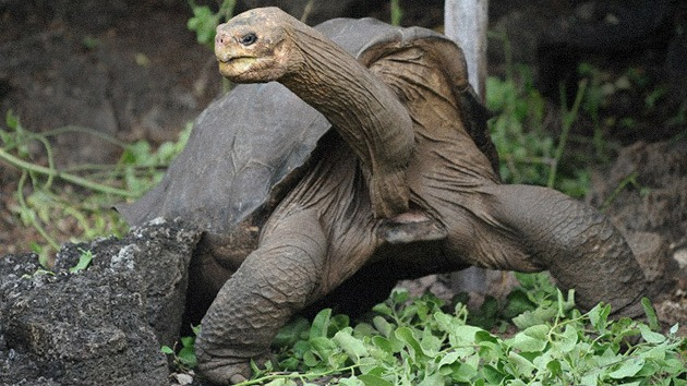 Los restos de la tortuga Solitario George serán embalsamados en EE.UU.