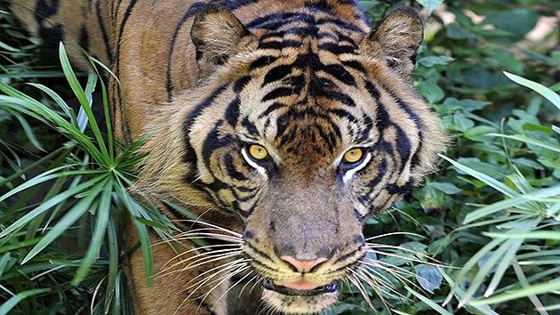 Un tigre de Sumatra mata a un campesino en Indonesia