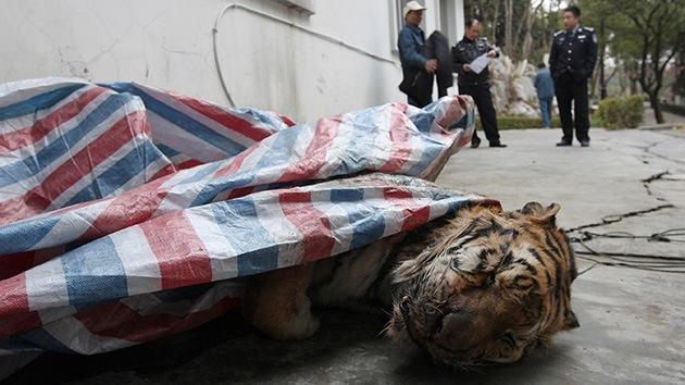 Video: La agonía de los tigres sirve de entretenimiento para ricos en China