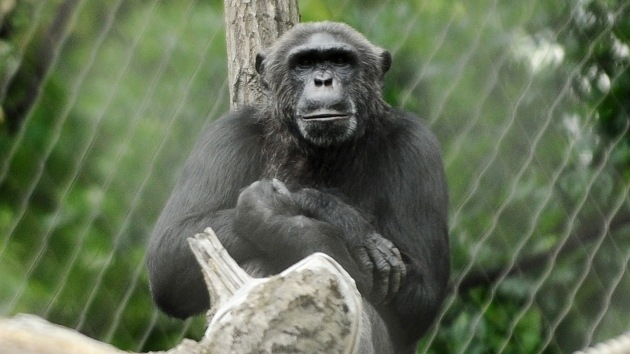 """Evolución legal: Los chimpancés pueden ser reconocidos como """"personas"""" con derechos"""