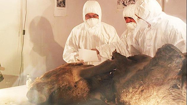 """Descubren en Siberia tejidos congelados de mamut """"con el color de la carne fresca"""""""