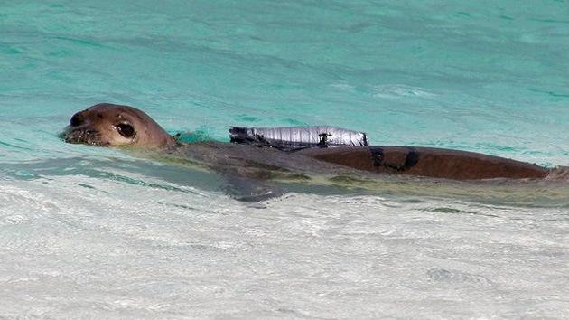 Hawái pone el foco en las focas en peligro de extinción