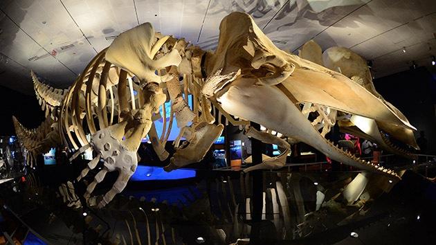 Video: La ballena pasa de cuatro patas a cero en 40 millones de años