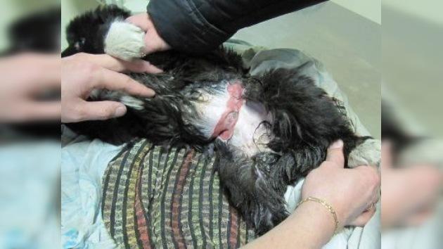 Salvan a una cachorra de perro que tenía el cuello y el estómago cortados