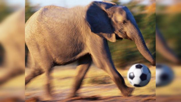 Elefantes 'futbolistas' sorprenden al público durante un festival en Nepal