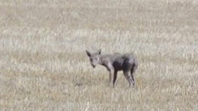 Misterio de Oklahoma: ¿'chupacabras' o coyote enfermo?