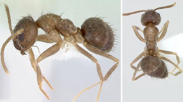 Las 'hormigas locas' neutralizan el veneno de otros insectos y se propagan por EE.UU.