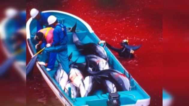 En Japón comienza la tradicional caza de delfines