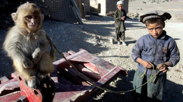 Ofensiva de monos afganos contra el Ejército de EE.UU.