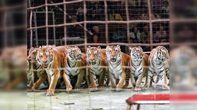 Un circo pagará 200 dólares a un niño por no mostrarle un tigre