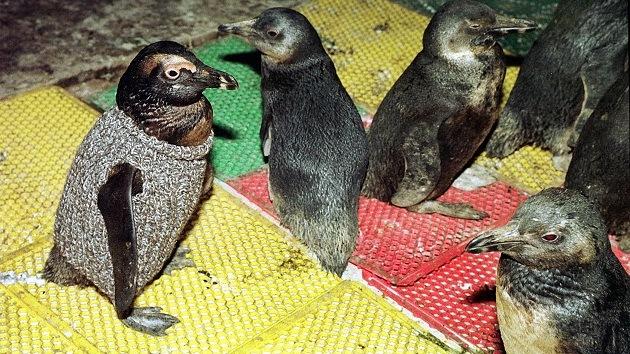 Activistas instan a tejer suéteres para salvar a los pingüinos afectados por el petróleo