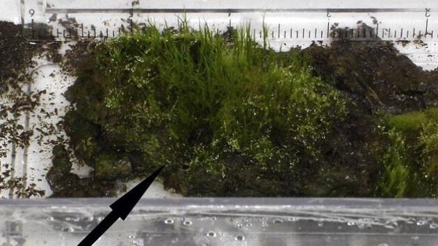 Científicos resucitan un musgo de 1.530 años de edad desenterrado de la Antártida