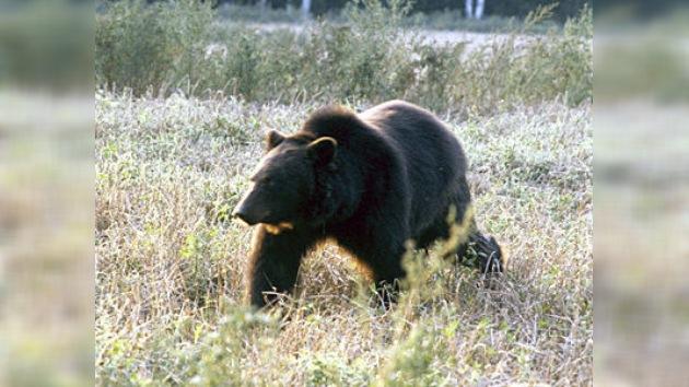 Un oso 'con hambre de lobo' detiene coches para mendigar comida