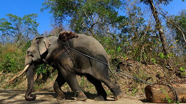 Impactante video: Cruel maltrato de elefantes que sirven de atracción turística