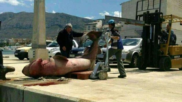 'Pescan' en España un tiburón de una tonelada que causa importantes pérdidas
