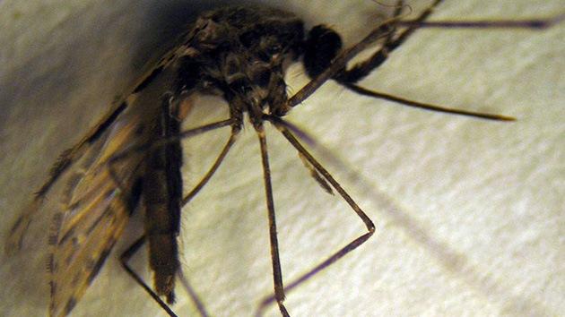Un nuevo mosquito amenaza con multiplicar la malaria