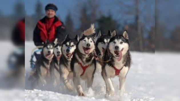 Un deporte extremo protagonizado por perros