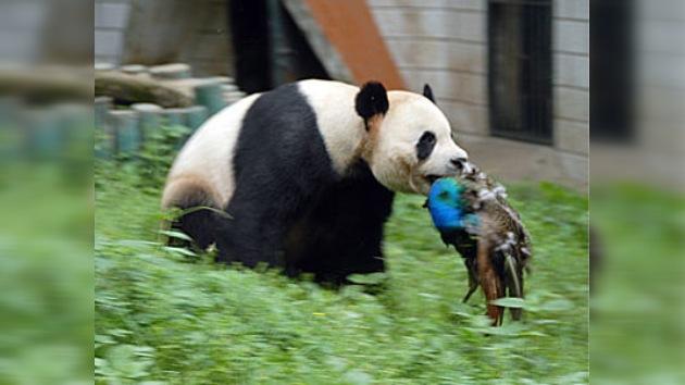 En un zoo chino un pavo real cae víctima de su vecino, un oso panda