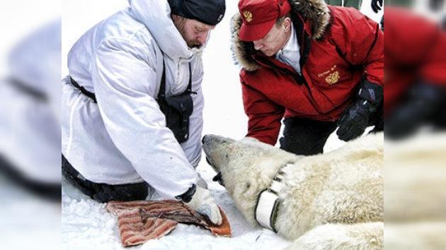 Putin le echa una mano al oso blanco