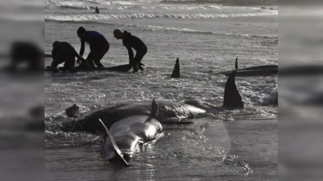 Salvan a siete ballenas piloto de las 20 varadas en los cayos de la Florida