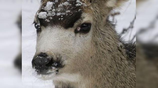 Salvada cría de corzo desde témpano de hielo en Polonia