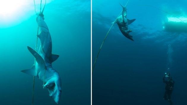 Fotos: Hallan el cuerpo de un tiburón brutalmente asesinado en Australia