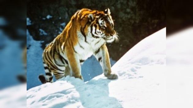Los tigres en peligro ya tienen su centro de atención